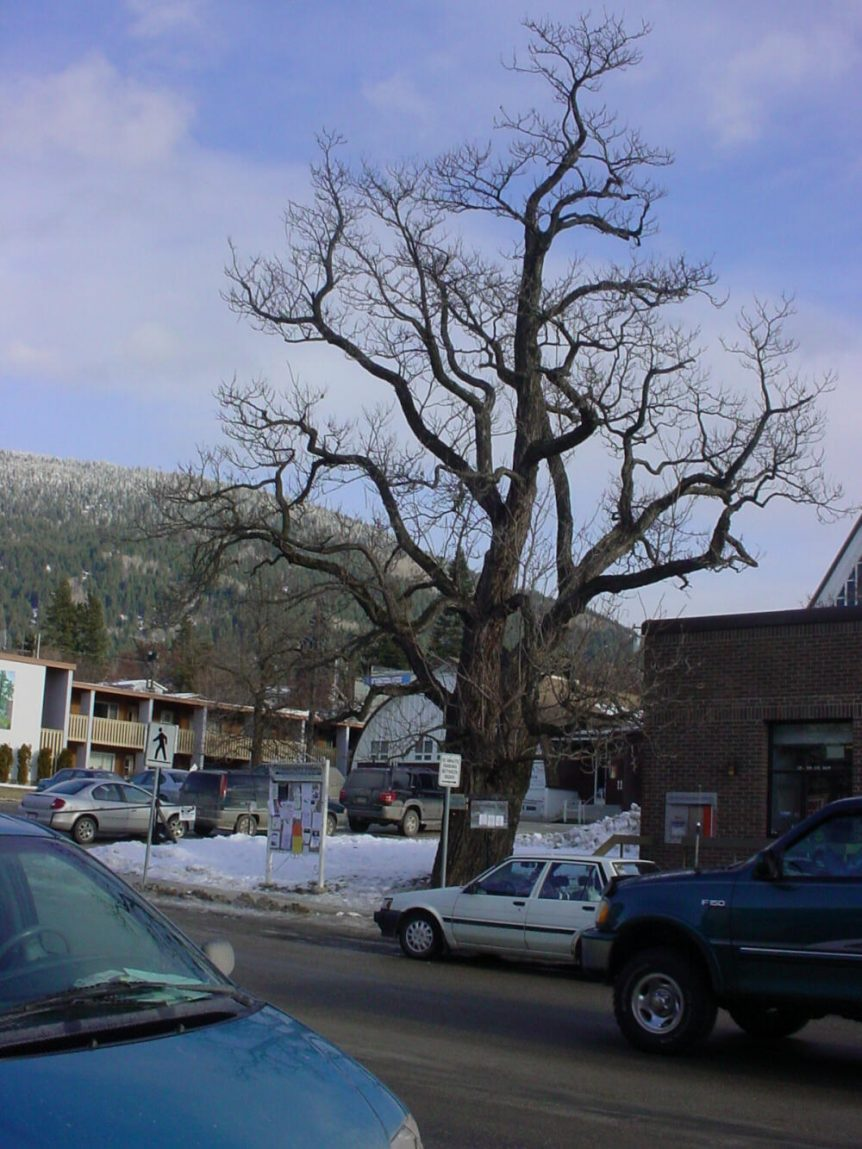 Catalpa tree, Creston BC